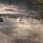 Heron at Dawn on Five Mile Creek